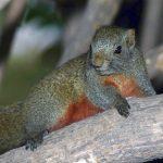 Pallas's Squirrel